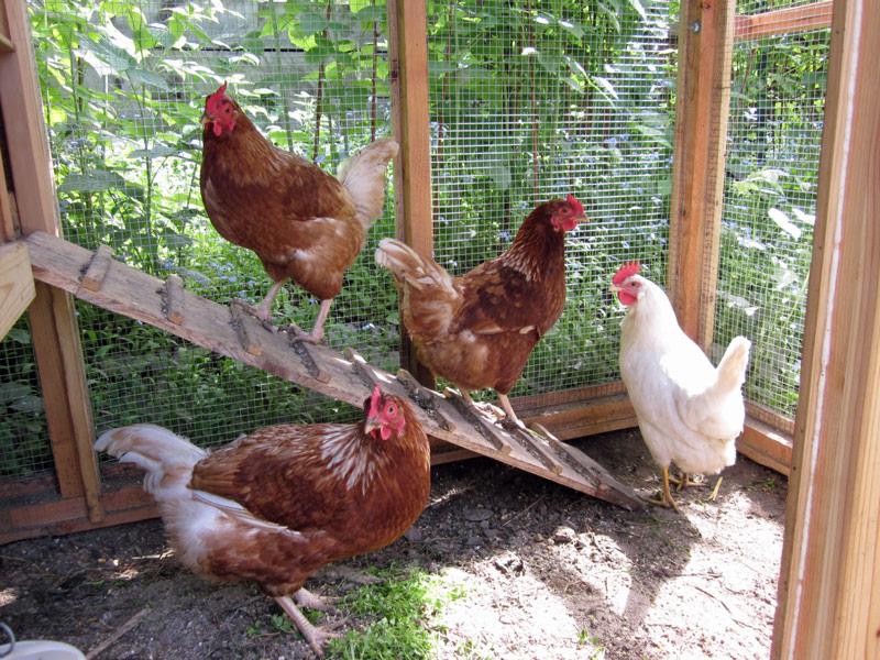 אין כמו לול תרנגולות בגינה